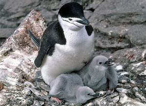 Chinstrap penguins - Antarctica file wildlife