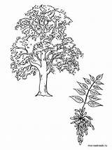 Tree Coloring Pages Ash Elm Printable Template Sketch sketch template