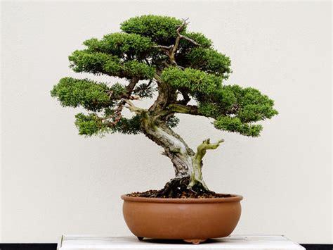 bonsai baum pflege bonsai baum tipps zur pflege f 252 r einsteiger liebenswert