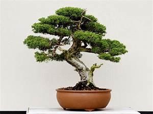 Bonsai Baum Schneiden : bonsai wunderbar bonsai schnitt f r schneiden bonsaipflege ch interessant bonsai schnitt in ~ Frokenaadalensverden.com Haus und Dekorationen
