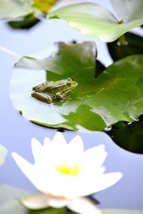Frong on a leaf stock image. Image of leaf, lotus, taken ...