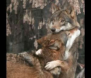 The Wild Hug : who s afraid of the big bad beautiful wolf 56 pics ~ Eleganceandgraceweddings.com Haus und Dekorationen