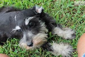Schnauzer, Miniature puppy for sale near Nashville ...