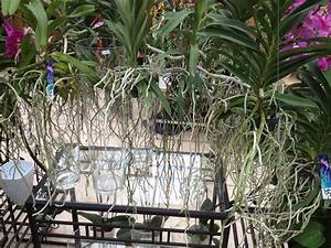 Luftwurzeln Bei Orchideen : luftwurzeln bei orchideen der richtige umgang und pflege ~ Frokenaadalensverden.com Haus und Dekorationen