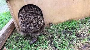 Wie Sieht Der Osterhase Aus : igel kotet so looks healthy hedgehog poop out youtube ~ A.2002-acura-tl-radio.info Haus und Dekorationen