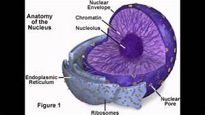 Nucleus  Nucleolus  Nuclear Membrane