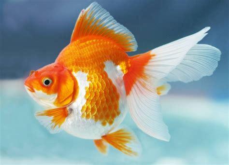 19 Jenis Ikan Hias macam macam jenis ikan hias yang populer selingkaran