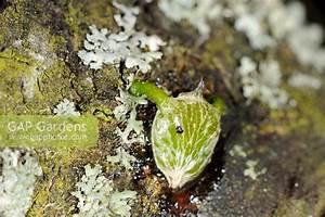 GAP Gardens - Parasitic plant - Mistletoe,'viscum album ...
