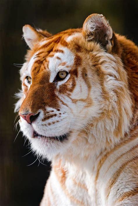Portrait The Golden Tiger Big Cats Cute