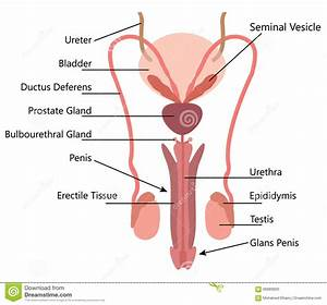 The Male Reproductive System Pictures - Human Body Anatomy ...