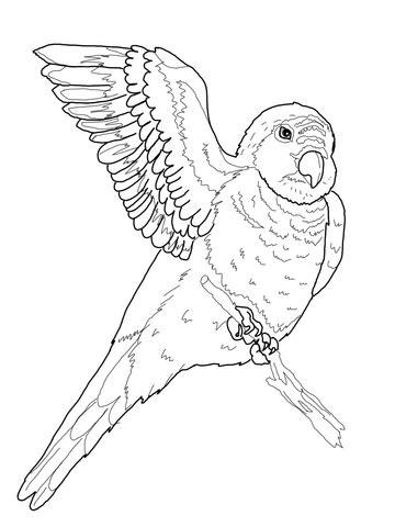 quaker parrot coloring page supercoloringcom