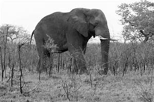 Bull Elephant Processed In Black And White Side View