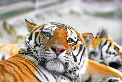 Tiger Siberian Wallpapers Extinct Tigers Going Animals