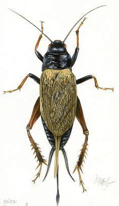 jean louis verdier grillon ch 234 tre par jean louis verdier insectes