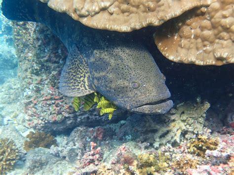 grouper goliath pacific wikipedia conservation status epinephelus