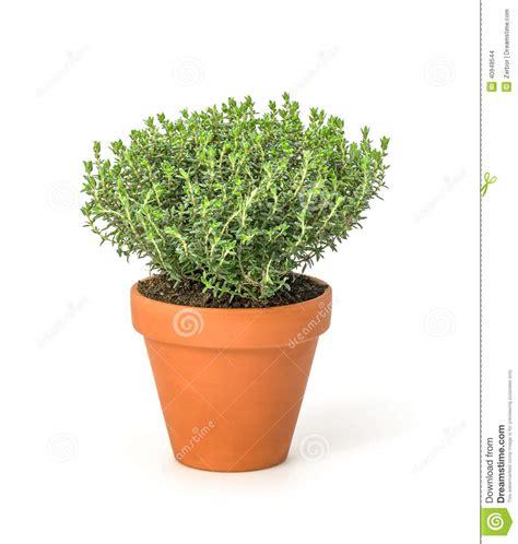 thym en pot entretien thyme in a clay pot stock photo image 40948544
