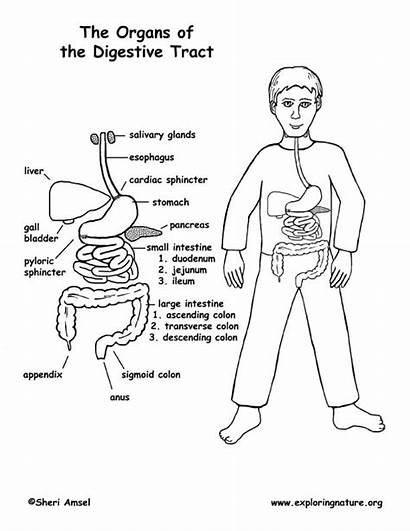 Digestive Coloring Tract System Middle Organs Human