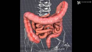 Human Large And Small Intestines 3d Model From