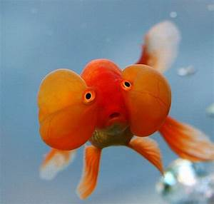 Some funny photos of goldfish | My Funny Pets
