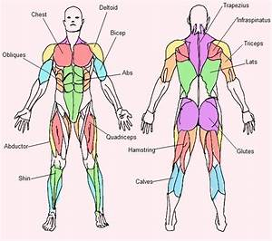 Bodyweight Exercise  Free Muscle Chart Download