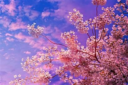 Blossom Cherry Tree 4k 5k Wallpapers Nature