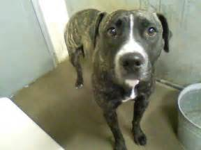 brindle girl desperately   woodbury ct patch