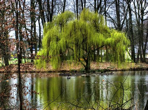 weeping willow tree 1000 images about weeping willows on pinterest weeping willow willow tree and monet
