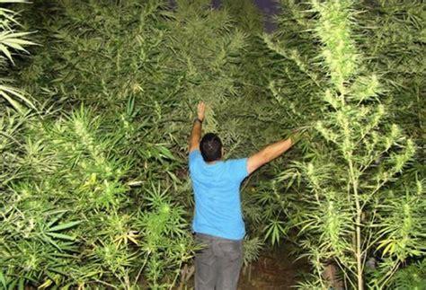 quand recolter cannabis exterieur 28 images cultiver du cannabis en ext 233 rieur