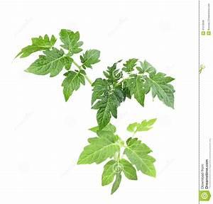Feuille De Tomate : pousse avec la feuille verte de la tomate photo stock ~ Melissatoandfro.com Idées de Décoration
