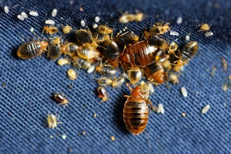 Bed Bugs by Bed Bug Pictures Visually Identify Bed Bugs
