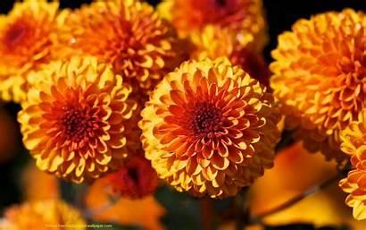 Orange Desktop Background Backgrounds Flower Wallpapers Dahlias