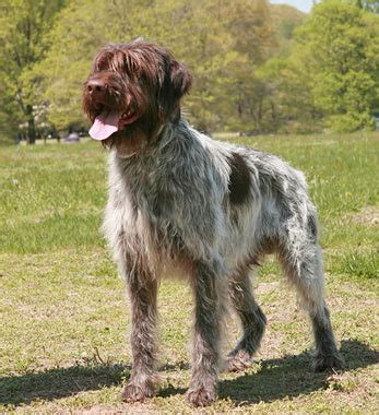 wirehaired pointing griffon dog breed information