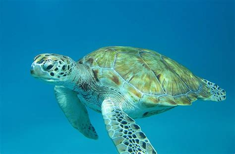 Barbados Turtle | Click the link to learn the story behind ...