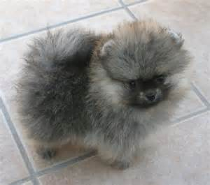 17 best images about keeshond dogs on pinterest best