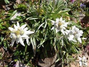 Welche Blume Steht Für Leben : alpenblumen bergblumen ~ Whattoseeinmadrid.com Haus und Dekorationen