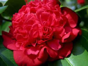 professor sargent camellia buy professor sargent camellia japonica 3 gallon shrubs for espalier