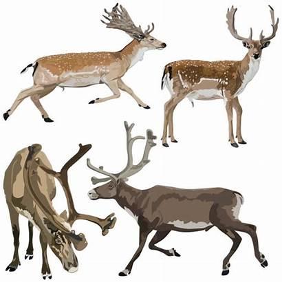Fallow Deer Vector Clip Illustrations Axis