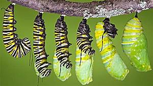 What Really Happens When A Caterpillar Turns Into A