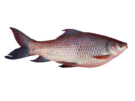 rui fish information modern farming methods