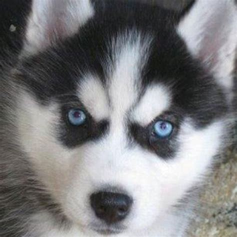 huskies that dont shed 50 best images about dogs that don t shed much on