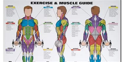Human development from ovulation to implantation. Spri Exercise & Muscle Chart - Body Basics