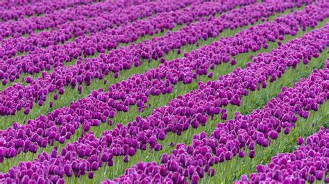tulips bed farm hd download wallpapers download 1680x1050 nature valley tulips washington farm 1920x1080 wallpaper