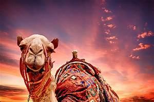 Camel Sunset Landscape · Free photo on Pixabay