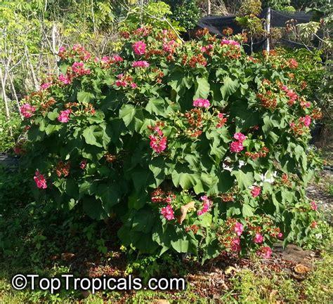 dombeya x seminole tropical hydrangea toptropicals