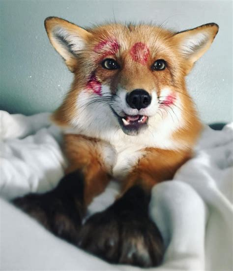 fox as a pet juniper the fox is your new instagram obsession