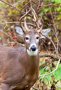 329 best images about Whitetail deer. on Pinterest | Deer ...