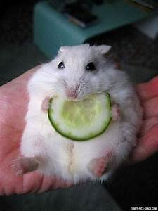 Baby hamster eating cucumber | The Best Things In Life R ...