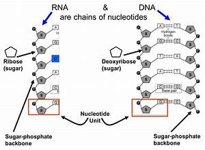 Nucleotides - Castell Alun High School