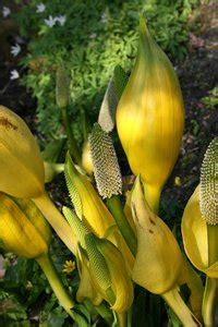 malodorous plant free stock photos rgbstock free stock images skunk cabbage micromoth april 25 2010 3