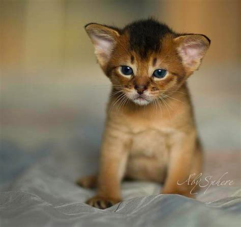 Princess Rosely Abyssinian Cats